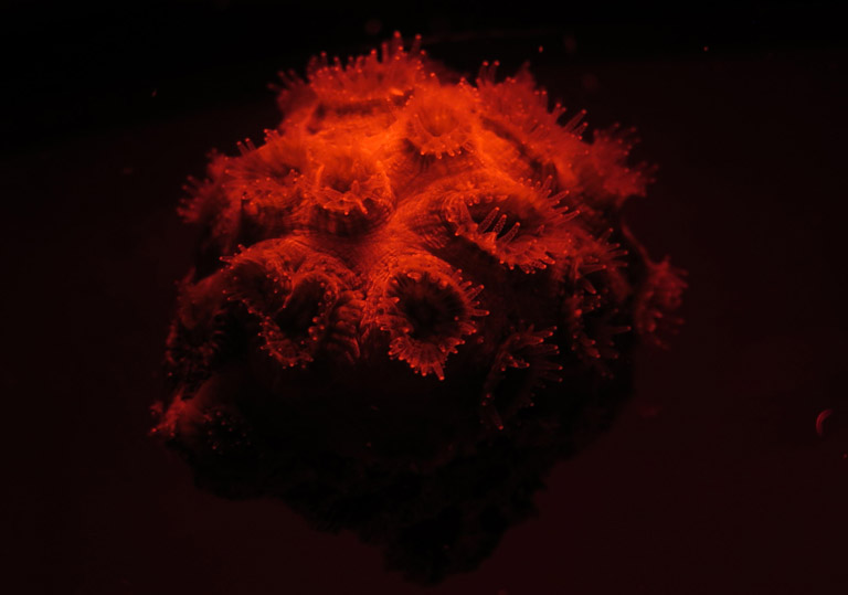 Dipsastrea coral, the genus used in the plastics experiments. Coral tentacles expanded for feeding. Photo credit: Markus Mende.