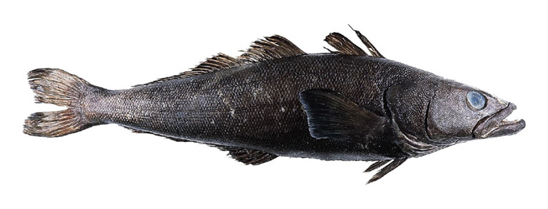 Often sold as Chilean seabass the Patagonian Toothfish stocks faced collapse during the 1990s due to rampant IUU fishing in the Southern Ocean.  Image courtesy of US FDA/Wikimedia Commons.