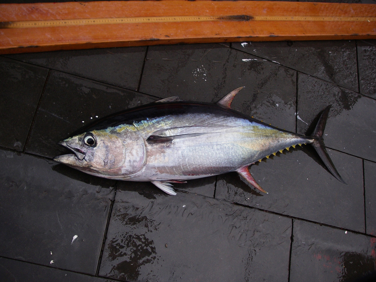 Yellowfin tuna (Thunnus albacares), a species of tuna that lives mainly in the tropics. Tropical members of the tuna family tend to grow faster and have shorter lives than temperate species, such as albacore tuna (T. alalunga). They also have undergone slower and less severe population declines and have a lower probability of being overfished, according to new research. Photo credit: SEFSC Pascagoula Laboratory; Collection of Brandi Noble, NOAA/NMFS/SEFSC.