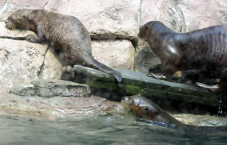 Giant river otters (Pteroneura brasiliensis) are very sensitive to human activity, and could be impacted by hydroelectric projects. Photo by Jeff Egnaczyk licensed under the Creative Commons Attribution 2.0 Generic license.
