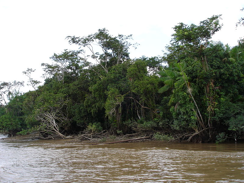 The Amazon River and its tributaries carry heavy loads of sediment and nutrients, which the streams deliver to the surrounding landscape when floodwaters jump riverbanks and flow into rainforests. Photo by Chico75 licensed under the terms of the GNU Free Documentation License, Version 1.2.