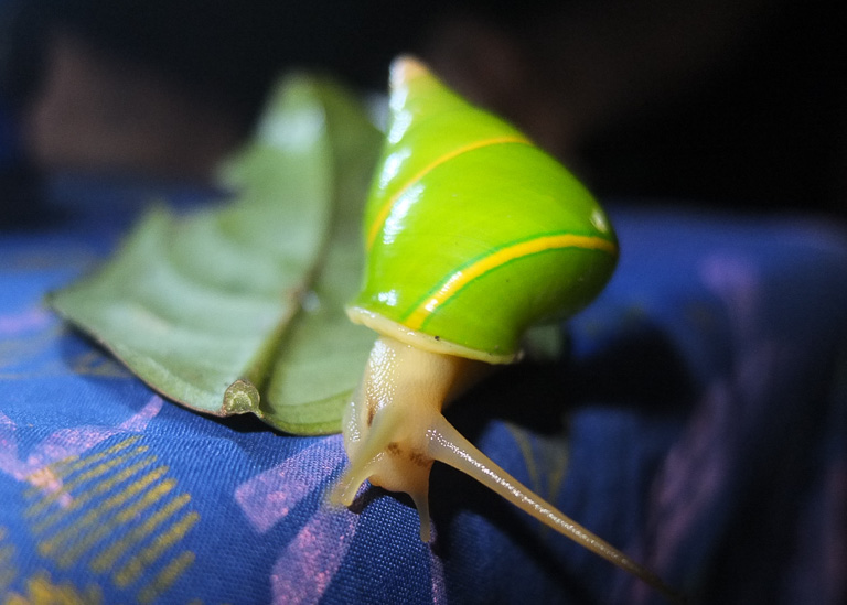 A Manus green tree snail. Photo by Nathan Whitmore.