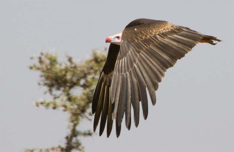 A White-headed vulture in Flight. Photo by Munir Virani courtesy of The Peregrine Fund
