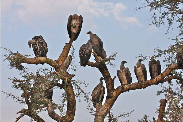 Ruppell's griffon vultures. Photo by Craig R. Sholley Courtesy of African Wildlife Federation