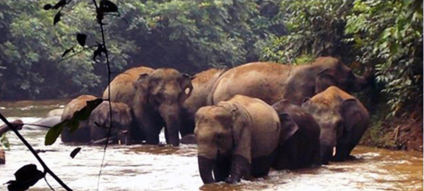 Part of a larger elephant herd drinks and bathes in the Sumai area of Bukit Tigapuluh. Photo by Frankfurt Zoological Society / Alexander Moßbrucker & Albert Tetanus.