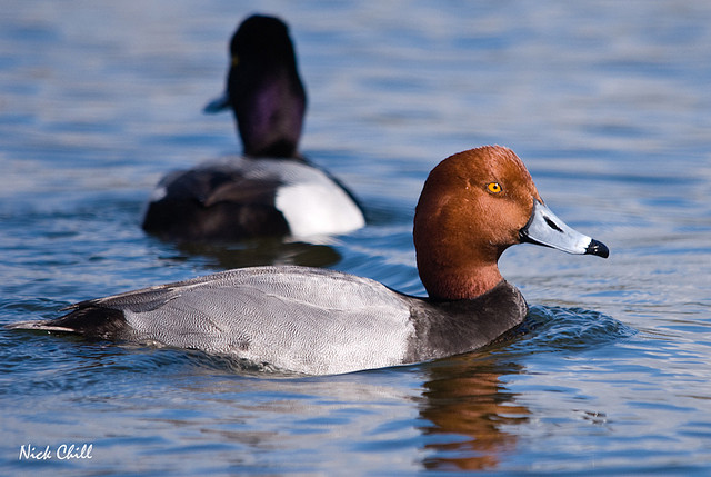 Male redhead duck (Aythya americana), a species of duck that commonly breeds in the Prairie Pothole Region, which is an important habitat for waterfowl. Photo by Nick Chill.