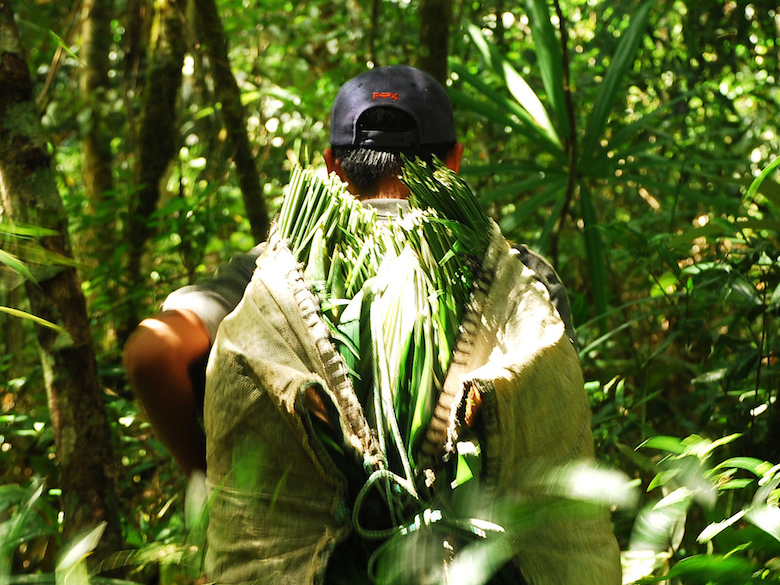 A collector carries a load of xate palm fronds, sold for floral arrangements. Research shows that community forestry concessions in Guatemala's Maya Biosphere Reserve, where xate palm fronds are harvested, can conserve forest at least as well as national parks and other protected areas. Photo by Charlie Watson/USAID/Rainforest Alliance Forestry Enterprises.
