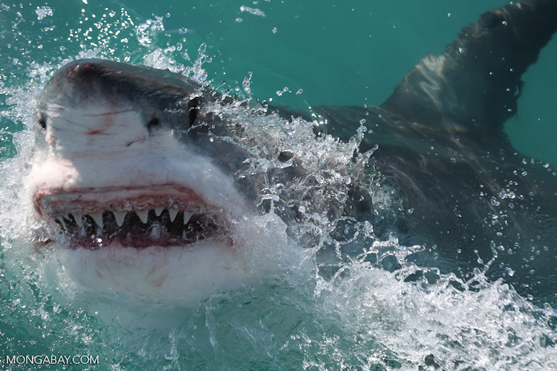 A great white shark, one of the three species responsible for most unprovoked attacks on humans. Photo by Rhett Butler.