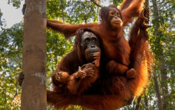 10 orangutans released into the wild in Borneo