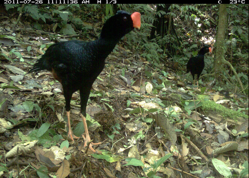 Razor billed curassow (Mitu-tuberosum). Photo courtesy of the TEAM Network.