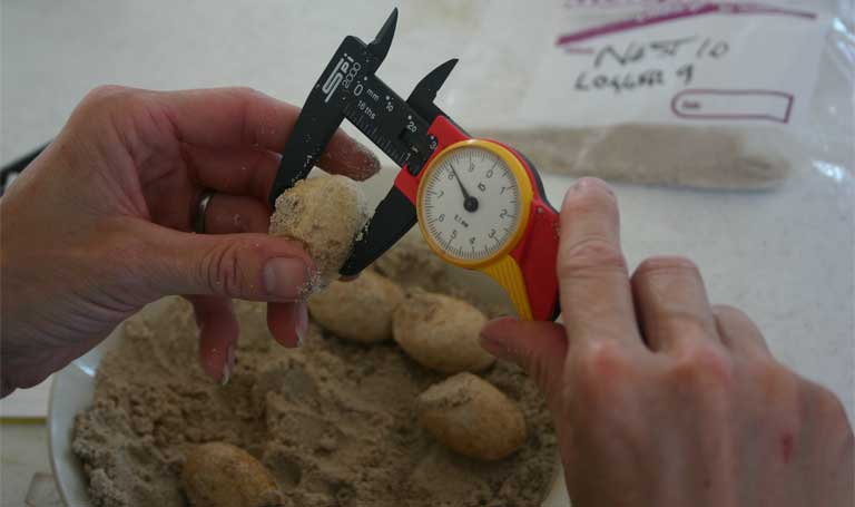 1.As part of a study on breeding and reproduction, rock iguana eggs were counted, weighed and measured immediately after laying and nests were monitored for emergence of hatchlings. Photo by Lee Pagni