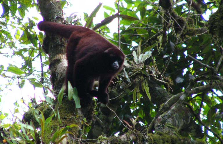 The yellow-tailed woolly monkey (Oreonax flavicauda), in the Alto Mayo region of Peru. This species is listed as Critically Endangered by the IUCN. Photo by Anne DeLuycker