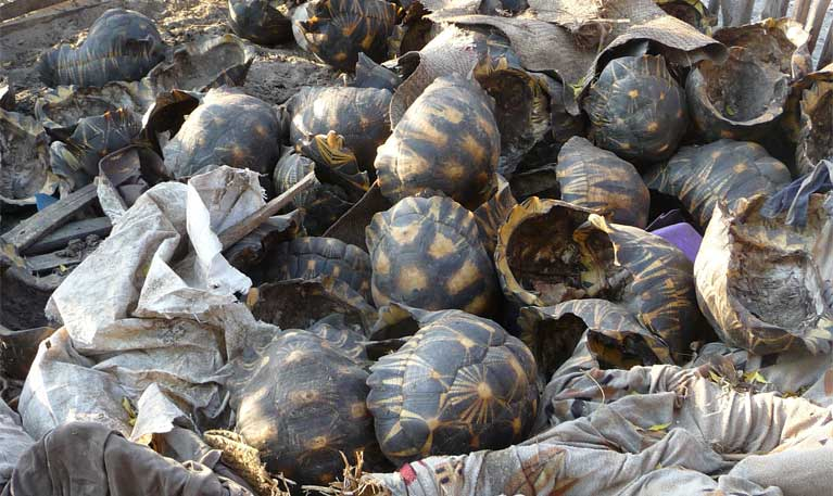 This pile of shells, the remains of slaughtered tortoises. was discovered behind a poacher's house in Beloha, in his pig pen. Photo courtesy of TSA