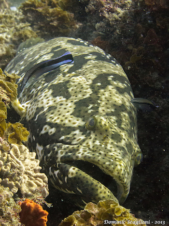 A grouper in Mozambique, where some sites examined in the present study were located. Groupers are large-bodied fish that may take a long time to recover from overfishing. Photo by Dominic Scaglioni.