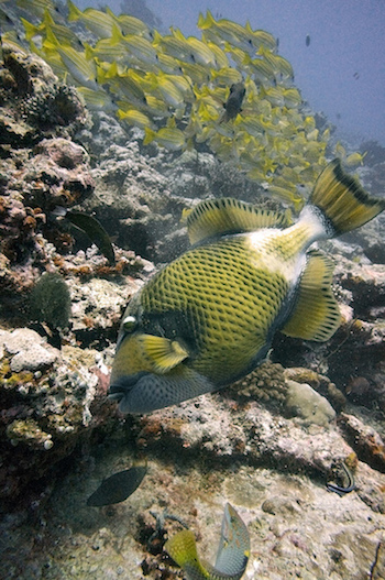 A species of triggerfish in the Maldives. Triggerfish are among the slower-growing reef-fish species and may take longer to recover than faster-growing species, according to the new research. Photo by Malcom Browne.