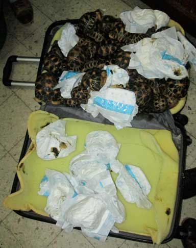 These tortoises were packed so tightly in this suitcase, confiscated at the airport in Antananarivo, that mortality from crushing or suffocation was inevitable. Diapers were used to suppress the smell and prevent soiling of the inside of the suitcase. Photo courtesy of TSA