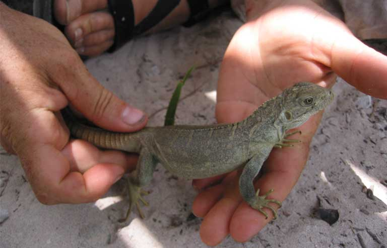3.A newly captured yearling rock iguana will be tagged and released after data is collected. Many individual iguanas in Turks & Caicos populations have long-running data files on their growth, territories and behavior. Photo by Lee Pagni