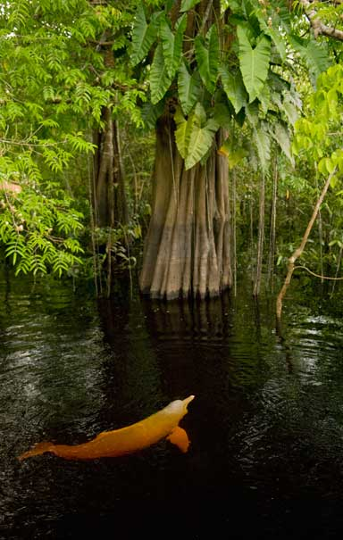 An Amazon River Dolphin swims in the flooded forests of the Rio Negro, Brazil. The species' range extends to the upper reaches of the Amazon River and its tributaries. Photo © kevinschafer.com.