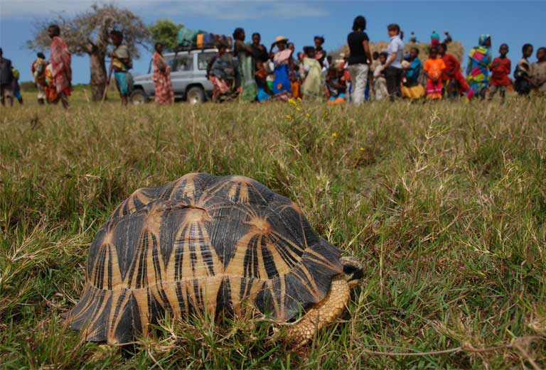 Radiated Tortoises exist in close proximity to the village of Antsakoamasy, where a strong protective custom exists, known as the Dina. The TSA built a primary school here as a regional model, linking tortoise protection to community enhancement. Photo courtesy of TSA