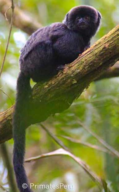 Geoldi's monkey (Callimico goeldii), a rare primate that is both under studied and endangered across its range. It sells for S/200 (US $67) at source markets in Peru, though goes for far higher prices once it reaches coastal urban centers, where just a single animal can earn profits exceeding S/1,000 (US $333). Photo by Mrinalini Watsa