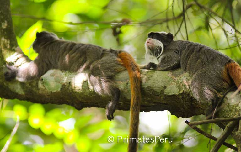 The Emperor tamarin (Saguinus imperator) at Los Amigos, the site of the longest-running study on this primate species by Field Projects International. An Emperer tamarin sells for S/500 (US $167) in Peru's source markets, and earn profits in coastal cities of S/1,000 (US $333), making it one of the most valued primates in Peru's illegal pet trade. Photo by Mrinalini Watsa