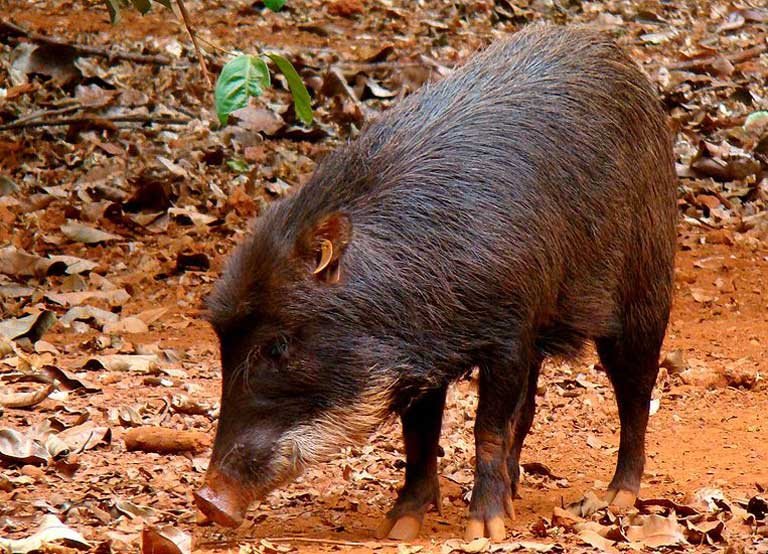 White-lipped peccaries run in large herds of upwards of 1,000 individuals, a behavior not compatible with small island habitats created by reservoirs. Photo by Ana_Cotta posted to Flickr.com licensed under the terms of the cc-by-sa-2.0