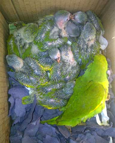 Chicks and an adult kept in a cardboard box at an open air market. Unlike many other parrot markets, the Los Pozos market sees more adults trafficked than chicks. Photo courtesy of Mauricio Herrera.