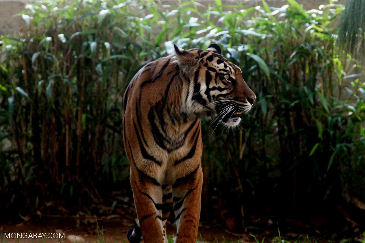 Harimau sumatera yang hidupnya kian terdesak akibat habitatnya menyempit. Foto: Rhett A. Butler