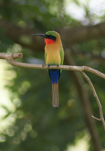 A Red-throated bee-eater in Gashaka-Gumti National Park. Photo by Rosemary Lodge/Flickr.