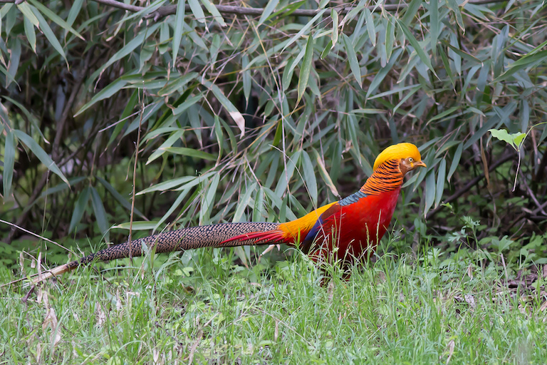 A golden pheasant photographed in Tangjiahe Nature Reserve, Sichuan, China. Photo by Jean-Marie Hullot/Flickr.