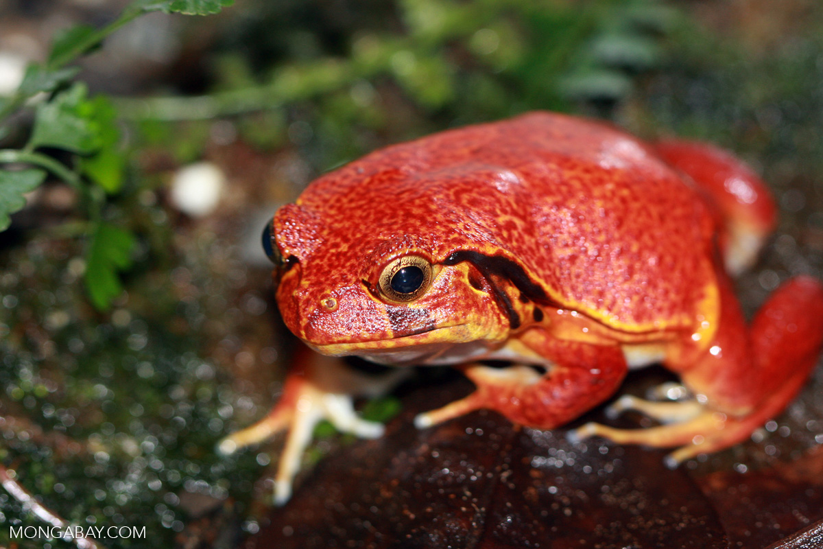 The Madagascar Tomato Frog (Dyscophus antongilii) endemic to Madagascar. Photo by Rhett A. Butler