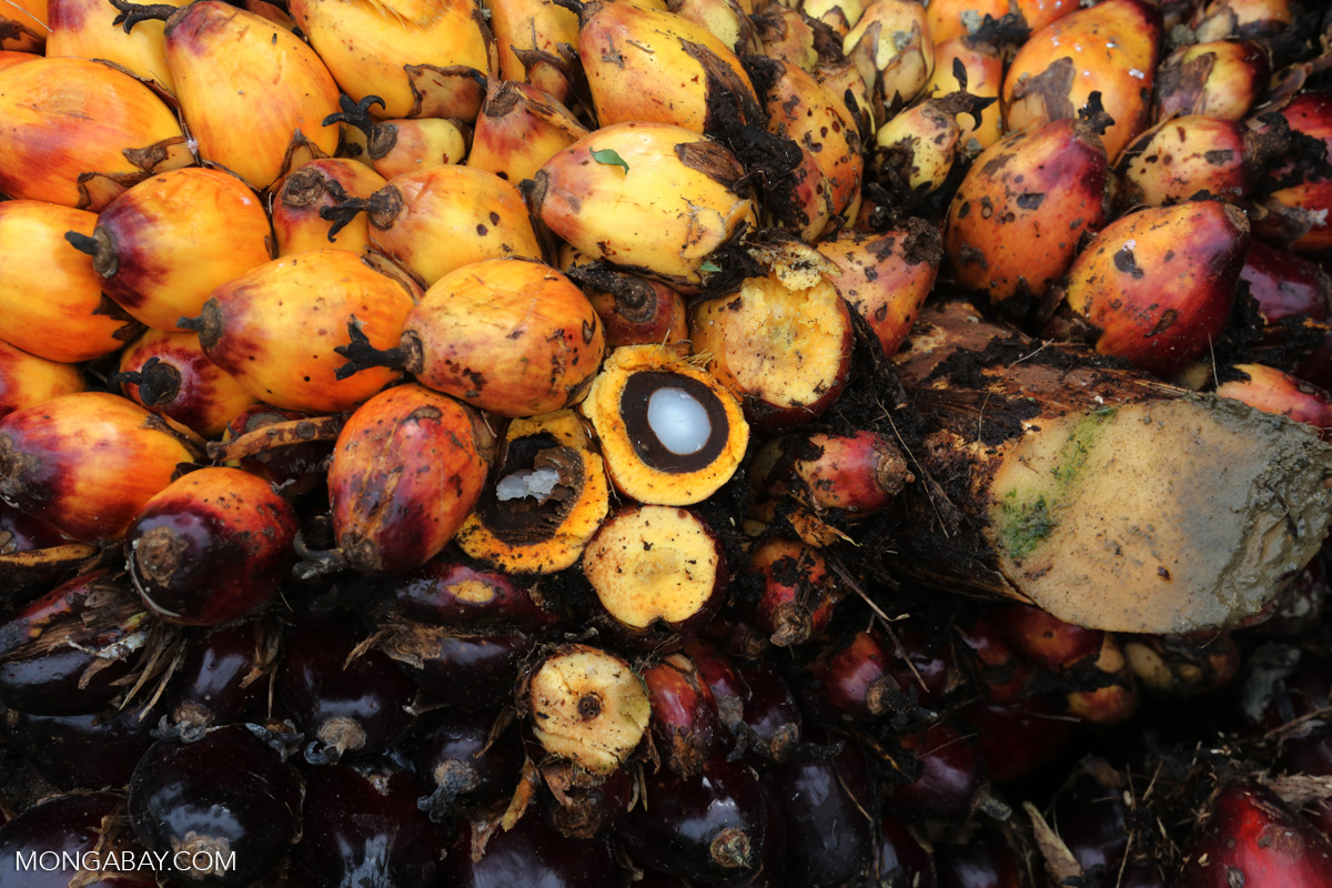 Oil palm fruit in Aceh, Indonesia. Photo by Rhett A. Butler