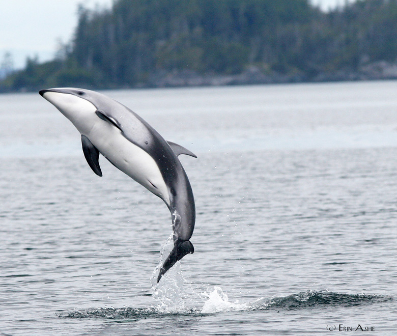 The Pacific white-sided dolphin (Lagenorhynchus obliquidens) was one of the focus species for the study. Photo by Erin Ashe.