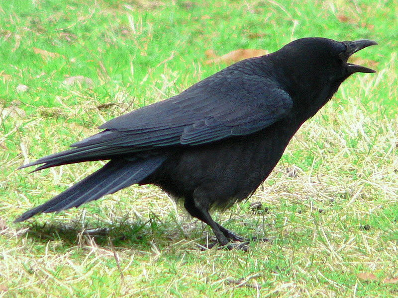 American crows are especially susceptible to West Nile encephalitis. Photo by Walter Siegmund, Wikimedia Commons, CC by 2.5.