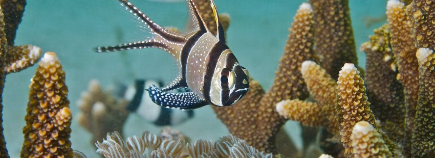 """Popular pet fish listed as """"threatened"""" under Endangered Species Act"""