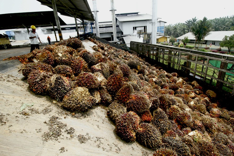 Oil palm fruit in Aceh Singkil. Plantations are expanding across Indonesia's Aceh province. Photo by Junaidi Hanafiah