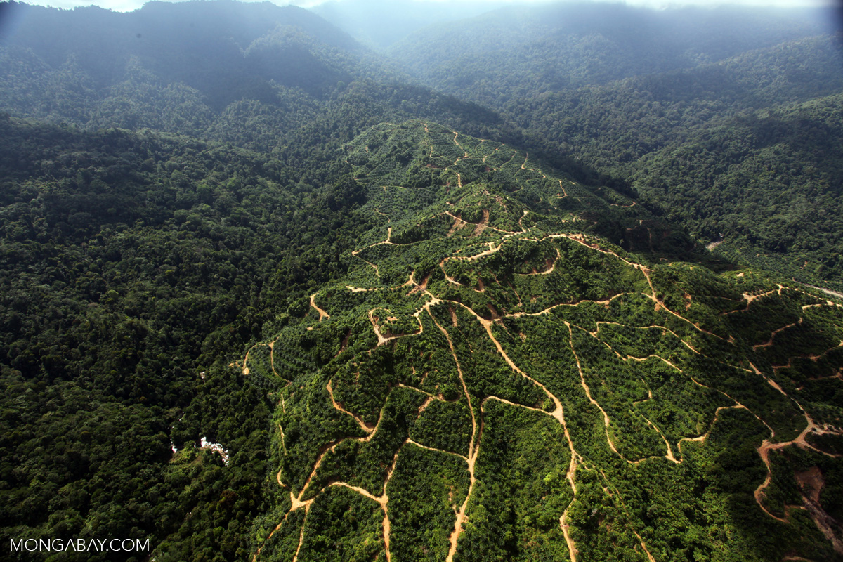An oil palm plantation in Sabah. Photo by Rhett A. Butler