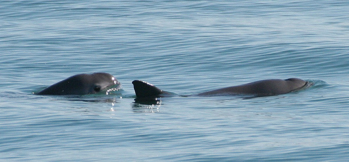 Fewer than 100 vaquitas remain in the Gulf of California. Photo by Paula Olson, NOAA.