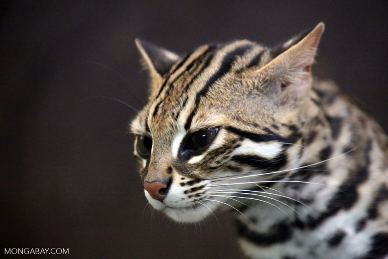 Leopard cat (Prionailurus bengalensis), one of the six felids that were targeted with the second hair trap design. Photo by Rhett Butler.