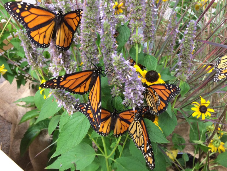 In the past two decades, monarch butterflies have declined by more than 80 percent. Photo by Collette Adkins / Center for Biological Diversity.