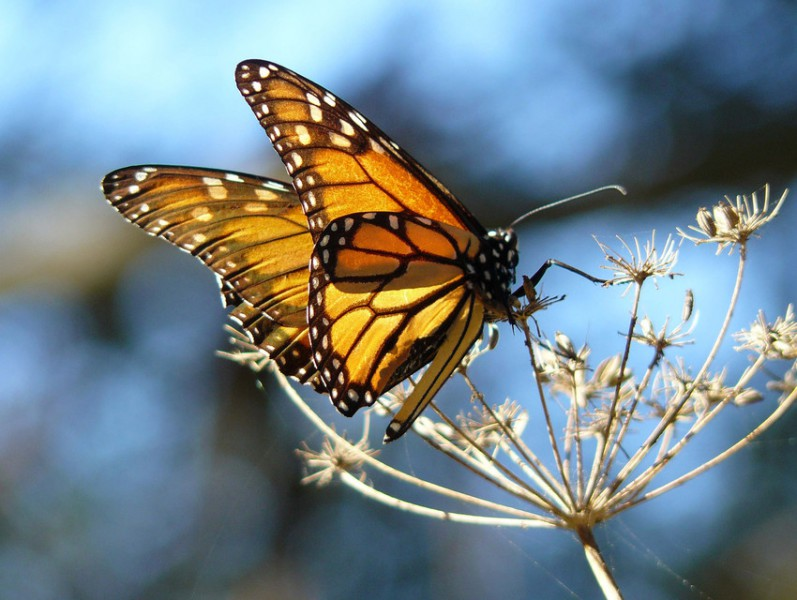 Two environmental groups have petitioned with the US FWS to list the monarch butterfly as Threatened under the Endangered Species Act. Photo by docentjoyce / Wikimedia Commons