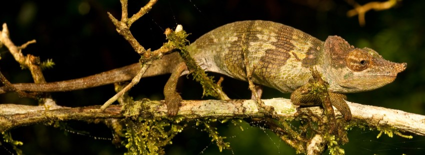 Newly discovered chameleon sheds light on Tanzania biodiversity