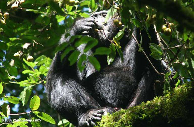 A wild chimpanzee (Pan troglodytes troglodytes) feeding on canopy fruit. Photo by Rhett A. Butler