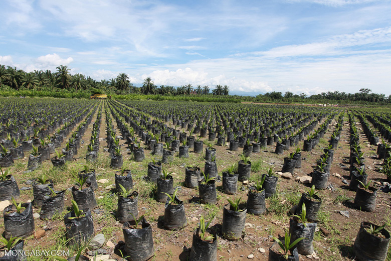 Oil palm plantation seedlings, like these seen in Indonesia, provide little habitat for wildlife. Photo by Rhett A. Butler