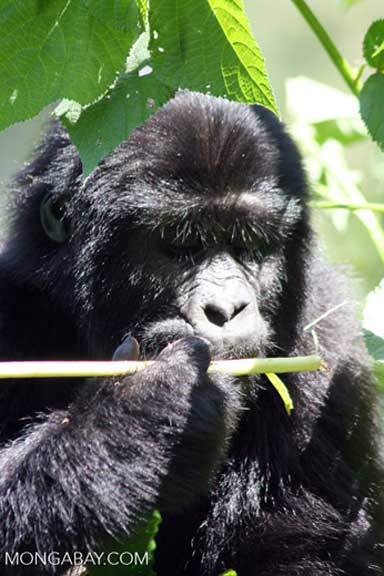 A Bwindi mountain gorilla nibbles a native plant inside the park. Photo by Rhett A. Butler