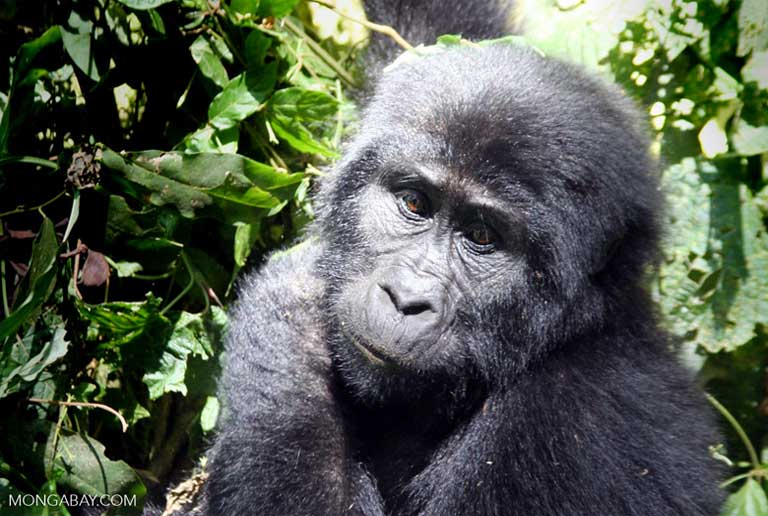 Raids on community crops by mountain gorillas can be curbed with the proper planting and management of tea plantations as buffer zones. Photo by Rhett A. Butler