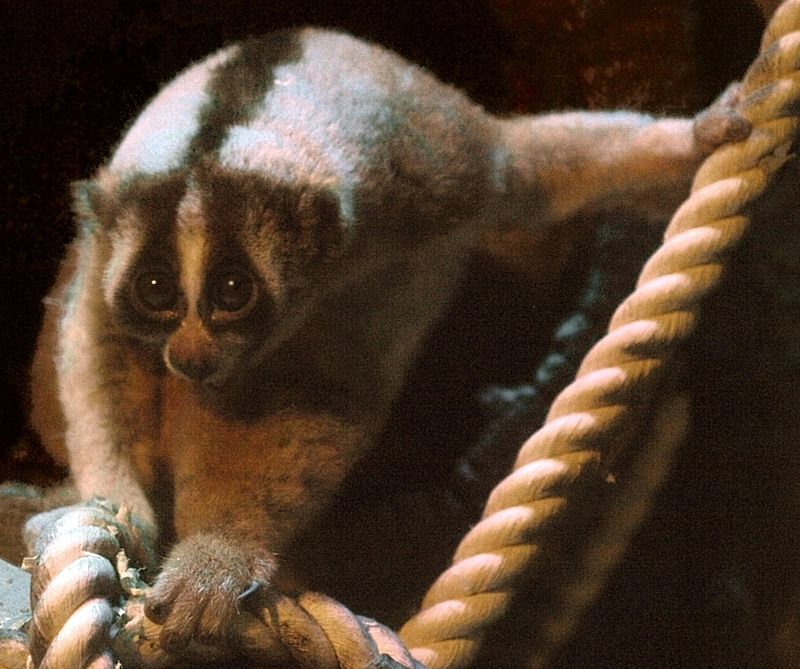 Javan Slow Loris (Nycticebus javanicus) at Kobe Oji Zoo, Japan. The study found 12 critically endangered Javan slow lorises for sale in online pet shops. Photo from Wikimedia Commons, CC BY-SA 2.5.
