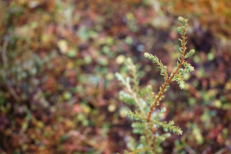 An alerce sapling grows in a clearing. Photo by Robert Heilmayr.