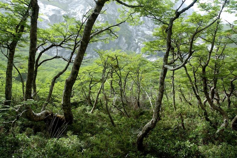 A high-elevation forest in Chile's Cochamo valley. Photo by Robert Heilmayr.