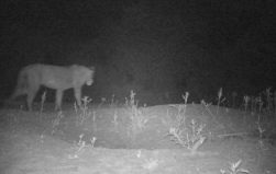 Previously undiscovered lion population found in Ethiopia